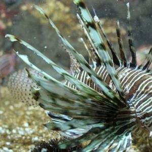 Θανατηφόρο ψάρι στα ελληνικά νερά