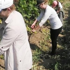 Πρωιμότερος ο τρύγος φέτος στην Πιερία λόγω καιρού
