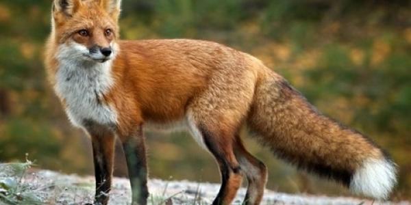 Αξιολόγηση  αποτελεσματικότητας  εμβολιασμών της άγριας πανίδας κατά της λύσσας
