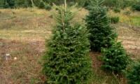 Ανακύκλωση φυσικών χριστουγεννιάτικων δένδρων δήμου Νεάπολης-Συκεών