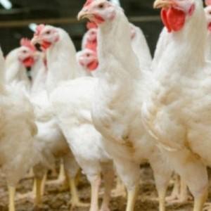 Θανατώνουν 25.000 κοτόπουλα στη Δανία