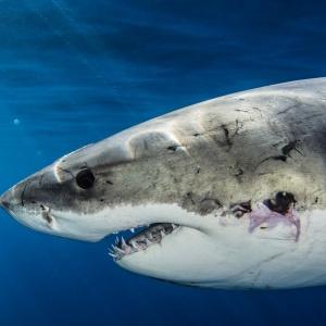 iSea: Eπαναλαμβανόμενα περιστατικά αλίευσης Λευκών Καρχαριών στην Τυνησία