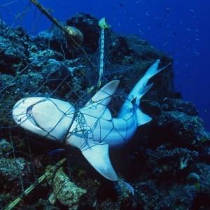 Με εξαφάνιση κινδυνεύουν οι καρχαρίες και οι βάτοι της Μεσογείου